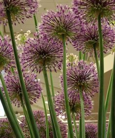 Allium 'Early Emperor'