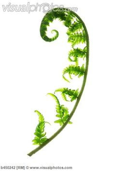 fiddleheads illustration - Google Search