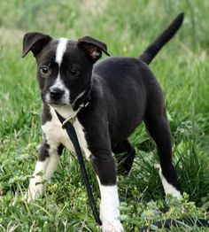 Check out Lennon's profile on AllPaws.com and help him get adopted! Lennon is an adorable Dog that needs a new home. https://www.allpaws.com/adopt-a-dog/border-collie-mix-american-bulldog/6075794?social_ref=pinterest