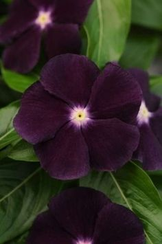 Vinca 'Jams 'N Jellies Blackberry' A winner of the All-America Selections, this Vinca has a deep purple, almost black, color and a white eye to give detail to any garden. Just the size for borders, the small plant grows between 12 and 16 inches high and can tolerate dry spells.