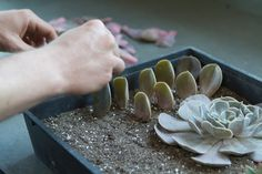 How to Root Succulents