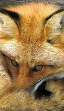 Did you know that Fox have very narrow nasal passages so they sleep with their nose in their tail to filter the air so the nose doesn't get clogged up.