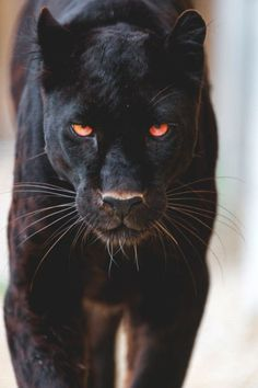 Up close and personal with a black jaguar Animals And Pets, Baby Animals, Cute Animals, Wild Animals, Fierce Animals, Beautiful Cats, Animals Beautiful, Big Cats, Cats And Kittens