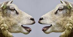 Ovce se učí rozpoznávat známé obličeje