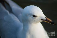 Little Seagull 2 Photograph by Naomi Burgess #seagull #animals #photography