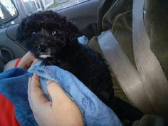 "Urza, ""Me at 9 weeks old on the way to my new home with Ricky and my new Mom"".  Urza is Half Border Collie / half Poodle"