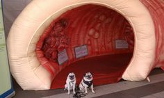Pugs with Giant Colon  ...truly is a picture for everything LOL