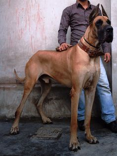 #Great #Dane. this is big!