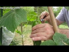 Growing lovely succulent cucumbers in your garden has never been easier with this step by step guide. Here we show and tell you how to do it like a pro. Visit our site to find out more. Cucumber Plant, Vegetable Garden, Cucumber Ideas, Gardening Books, Gardening Tips, Pea Trellis, Cucumber Beetles, Grow Organic, Plants