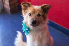 Precious - Australian Terrier mix - Adult - Female - Home Fur Good Animal Rescue -Phoenix, AZ. - http://homefurgood.org/adoptable-pets/dogs/ - https://www.petfinder.com/petdetail/31817618/