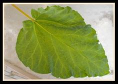 Recipe here for making Natural Insecticide with Rhubarb Leaves. Everything Rhubarb HERE- A website devoted to RHUBARB! Including a ton of reicpes!