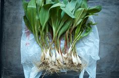 Preserving Ramps and Dehydrator Thoughts