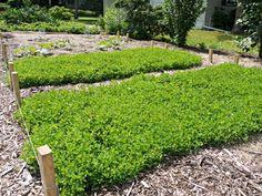 alfalfa in juni tuin
