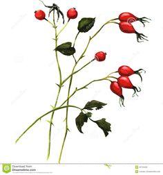 vintage rosehip illustration - Google Search