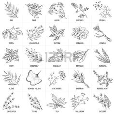 Illustration about Hand drawn vector set of herbs and spices vintage illustrations. Kitchen and drug plants collection. Illustration of illustration, culinary, medicine - 57077783 Botanical Line Drawing, Botanical Drawings, Botanical Art, Botanical Illustration, Outline, Plant Drawing, Doodle Drawings, Tattoo Drawings, Leaf Art