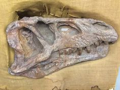 @NHMdinolab - Fabulous Erythrosaurus skull from the Triassic of South Africa @WitsUniversity #fossilfriday