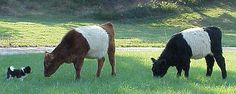 The Belted Galloway...An Old Scottish Breed The unique appearance of Belted Galloway cattle inspires many questions about their origins. With black, red or dun color sandwiched about a white middle, they are familiarly known as 'Belties' among breeders of the animals.