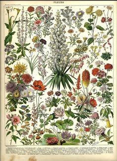 1897 Original Antique Flower Chart Print Vintage Flowers - wall art home decor Vintage Prints, Posters Vintage, Vintage Botanical Prints, Botanical Drawings, Antique Prints, Botanical Art, Botanical Posters, French Flowers, Vintage Flowers