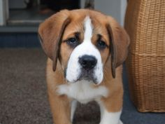 SWISSYSAINT PUPPIES - Greater Swiss Mountain dogs bred with Saint Bernards <3