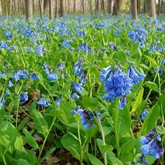 Virginia Bluebells, Mertensia virginica - Spring Perennials from American Meadows