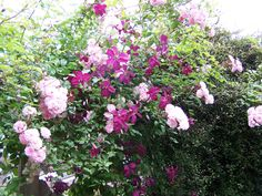 Clematis 'Abundance with Rose 'Maid of Kent'