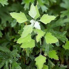 Wondering how to kill Creeping Charlie? Creeping Charlie (Glechoma hederacea) is a yard crasher. This uninvited guest is a perennial broadleaf weed that demands attention. Oblige it by taking action when you first spot it and lessen the chance of it taking over your yard.