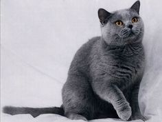 Blue British Shorthair cat , will be my next cat , fucking beautiful!!!