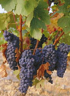 Grapes in vineyard near Logrono, Ebro Valley, La Rioja Province, Spain, Europe