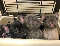 French Bulldog Puppy Sampler ; ) yes please!