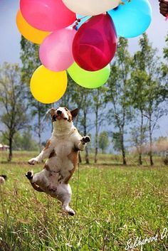 This dog is going up up and away with his pink, orange, green, blue, white, and red balloons. #dogballoons