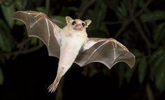 Australian-Bat-Control-02-600x366.jpg (600×366)