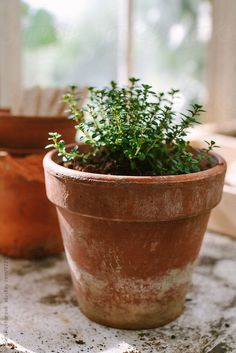 A thyme plant in a clay pot by Helen Rushbrook - Thyme, Herb garden - Stocksy United Thyme Plant, Thyme Herb, Belle Plante, Design Jardin, Garden Design, Cottage Garden Plants, Plant Aesthetic, Growing Herbs, Clay Pots