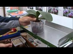 Orchideen Pflege 2 - Phaleanopsis umtopfen - YouTube