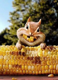 Corny squirrel bright smiles for Thanksgiving Funny Animal Pictures, Cute Funny Animals, Funny Cute, Animal Pics, Funny Squirrel Pictures, Funny Images, Funny Pics, Bing Images, Animals And Pets