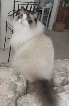 I seriously love ragdoll kittens. best images ideas about ragdoll kitten - most affectionate cat breeds - Tap the link now to see all of our cool cat collections! Kittens Cutest, Cats And Kittens, Ragdoll Cats, Black Kittens, Cats Meowing, Bengal Cats, White Cats, Pretty Cats, Beautiful Cats