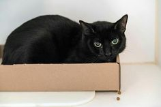 NOIR - A1114786 - - Brooklyn  *** TO BE DESTROYED 06/17/17 ***  Noir is a shy kitty who isn't doing well in Adoptions at the Brooklyn Care Center. She would benefit most from placement with a New Hope partner where her behavior can be assessed in a calmer, more stable environment. NOIR was dumped with housemate because her owner was moving to a smaller apartment – she has some dental issues which may need tooth extractions – friendly girl! -  Click for info