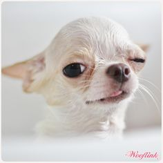 chi wink, and what a cute Chihuahua it is too~