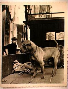 Any Traditional Shar Pei Breeders? Lion Dog, Shar Pei, Vintage Dog, Cane Corso, Hunting Dogs, Dog Photos, Bull Terrier, Old Pictures, Animals And Pets