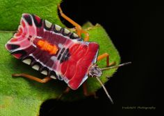 https://flic.kr/p/6KutJW | beautiful but stinky | shield or stink bug Order : Hemiptera Suborder : Heteroptera Infraorder : Pentatomorpha Superfamily : Pentatomoidea Family : Pentatomidae