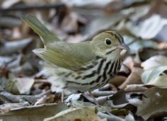 """A small, inconspicuous bird of the forest floor, the Ovenbird is one of the most characteristic birds of the eastern forests. Its loud song, """"teacher, teacher, teacher,"""" rings through the summer forest, but the bird itself is hard to see.  Adult Description Small songbird. Olive brown back. White underside with bold, dark streaked spots. White eyering. Orange crown bordered by black stripes."""