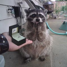 I found this raccoon on the Internet and I don't know who she is but I am so happy for her