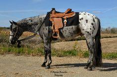 Appaloosa stallion Go Be Good