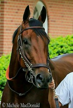 On June 6, 2015, American Pharoah became only the twelfth Triple Crown champion and the first in 37 years. Sired by Pioneer Of The Nile out of Littleprincessemma, American Pharoah was trained by Bob Baffert and ridden in most of his races by Victor Espinoza. He won a close race in the Kentucky Derby, had a little more breathing room on a sloppy track at the Preakness and literally pulled away from everyone in his electrifying Belmont Stakes victory.