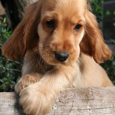 American Cocker Spaniel  reminds me of my babygirl when she was a puppy!