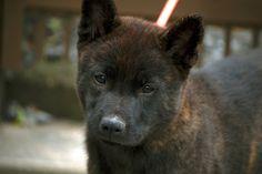 Kai Ken puppy, I want one Moore Moore Heart ! Belgian Laekenois, German Longhaired Pointer, Kai Ken, Greenland Dog, Spitz Dogs, Japanese Dogs, Alaskan Malamute, Wild Dogs, Hunting Dogs