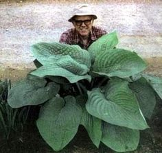 Amazon.com: 'T-Rex' Hosta - Largest Leaved Hosta in the World! - Potted: Patio, Lawn & Garden