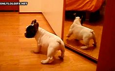 This little guy who thinks his own reflection is another dog. | 23 Dogs Who Are Too Adorably Stupid For Their Own Good