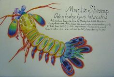 Peacock Mantis Shrimp by Allison-beriyani