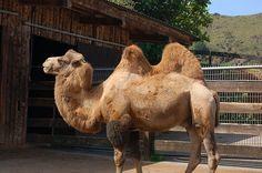 Camello Bactriano - Parque de la Naturaleza de #Cabarceno #Cantabria #Spain