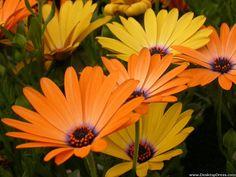 Yellow and Light Orange Daisies